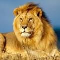 Profile picture of Lion